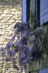 Les Alpilles, Saint Rémy de Provence, (FRA,13) - Glycine in Saint Rémy de Provence