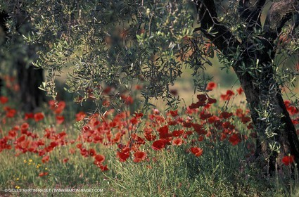 Poppies - Poppies field and Olive Tree