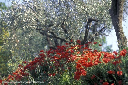 Poppies - Poppies field and Olive Trees