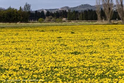 16 03 2008 - Saint Rémy de Provence (FRA, 13) - Alpilles hills landscapes - Dandelion field