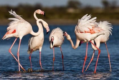 09 04 2011 - Les Saintes Maries de la Mer (FRA,13) - Pink Flamingos in Camargue