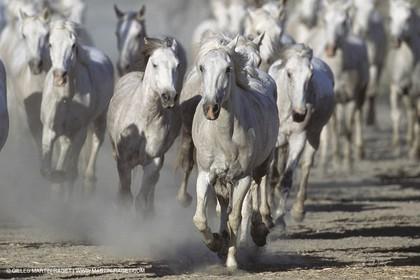 Les Saintes Maries de la mer (FRA,13) - Camargue horses