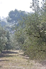 Provence - Olive trees in the Baux de Provence valley (south France)