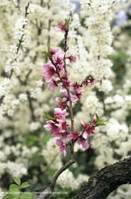 Luberon, Vaucluse (FRA,84) - Fruit trees blooming
