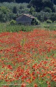 2000-2010- Les Alpilles (FRA,13) - Poppy fields