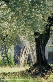 olive0122.jpg