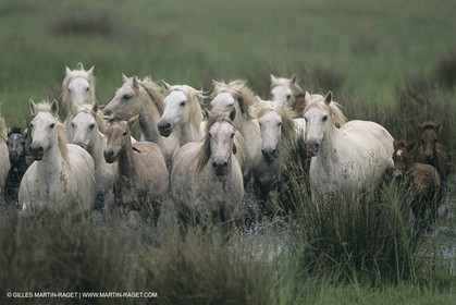 France, Provence, Camargue, White horses from Camargue