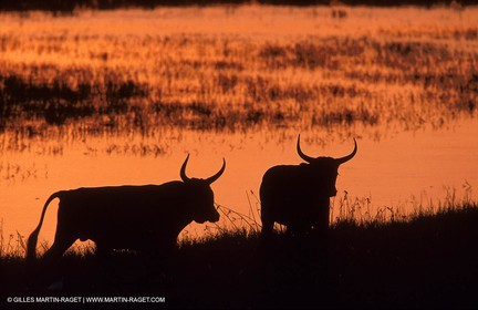 Bulls - Camargue