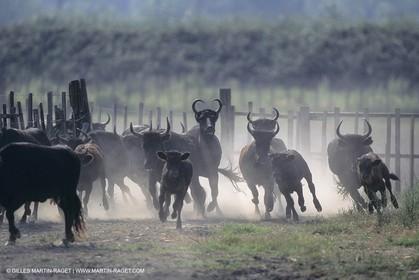 France, Provence, Camarggue, Taureaux de Camargue, bulls