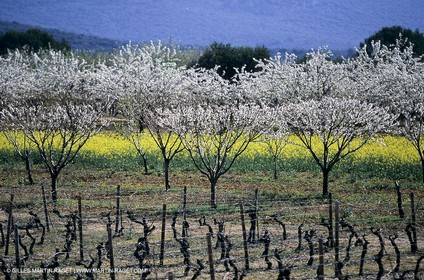Luberon (Fra,84), blooming cherry trees