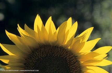 Luberon (FRA,84), Sunflower fields