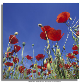 Poppies - Poppies field