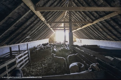 France, Provence, Camargue, Elevage de moutons, sheep breeding