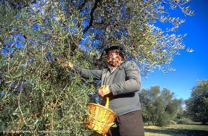Olives - oliver trees - Olive oil