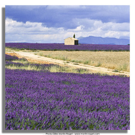Hgher Provence - Lavender fields