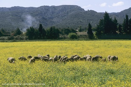 France, Provence, champs de Colza