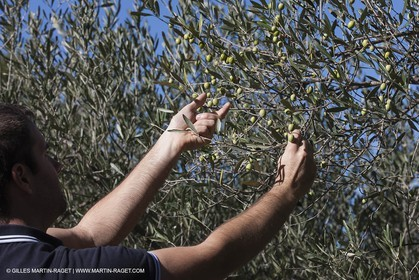 7 11 2012 - Saint Etienne du Grès (FRA,13, Alpilles) Olive harvest at Vallon Raget