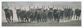 Camargue Bulls