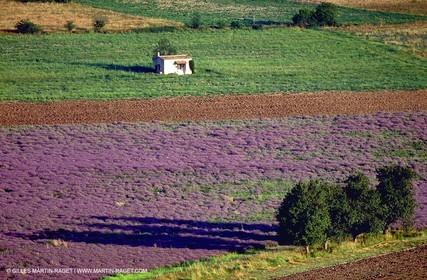 Lavenders
