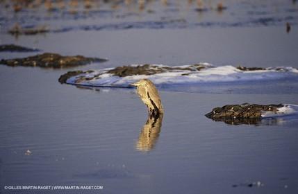 Camargue (FRA,13) - Birds in the Camargue - Heron