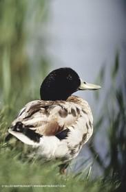 Camargue (FRA,13) - Birds in the Camargue - Duck