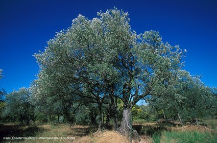 Nyons - Olive tree field