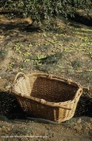 olive0112.jpg