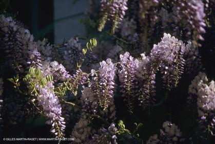 France, Provence, Glyines en fleur