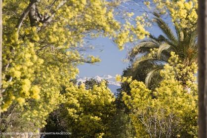 06 02 2008 - Théoule sur mer (FRA, 06) - Mimoses in full flower