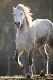 23 12 2006 - Saintes Maries de la Mer - Camargue horses