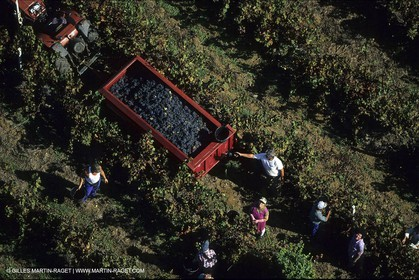 Wine - vineyards - Harvest
