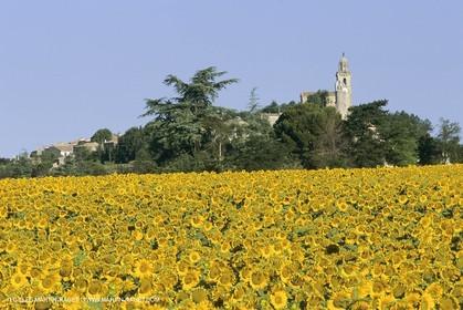 France, Provence, Champs de tournesols