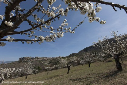 March 30th 2012 - Saint Saignon (FRA, 84) - blooming cherry trees