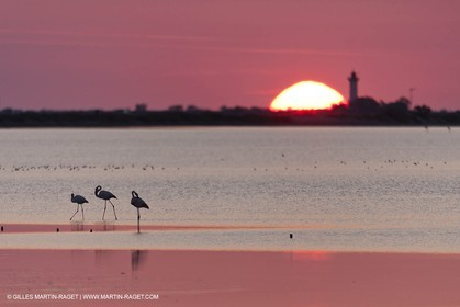 19 04 2011 - Arles (FRA,13) - Pink flamingos in La Gacholle Lighthouse vicinity