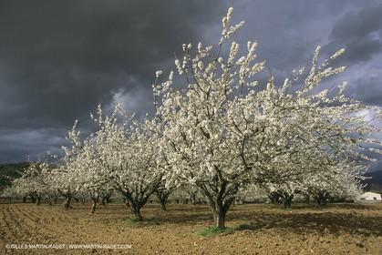 France, Provence, Arbres fruitiers en fleur   Spring bloom