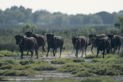 France, Provence, Camargue, Taureaux, Bulls