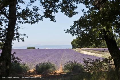 27 06 2011 - Valensole (FRA, 04) - Lavander fields