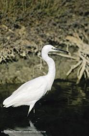 Camargue (FRA,13) - Birds in the Camargue - Little Egret