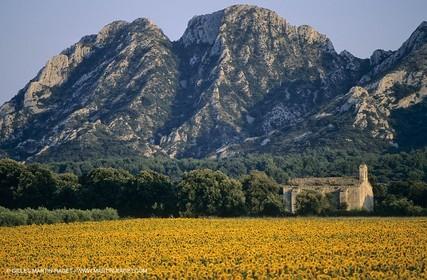 Alpilles (FRA,13) - Sunflower fields