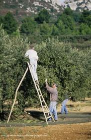 olive0117.jpg