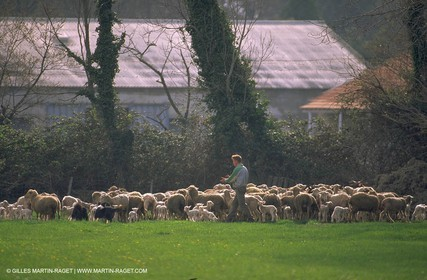 Sheeps - shepherds