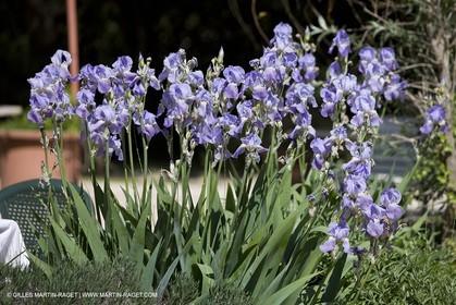 01 05 2008 - Saint Rémy de Provence (FRA, 13) -  Les Iris