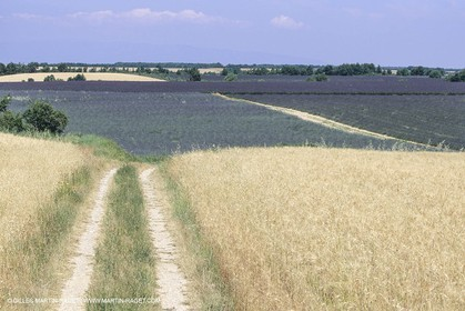 Corn and Wheat fields on Valensole Plateau in higher Provence (France)