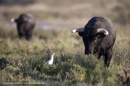 19 04 2011 - Arles (FRA,13) - Bullfight toros in Camargue
