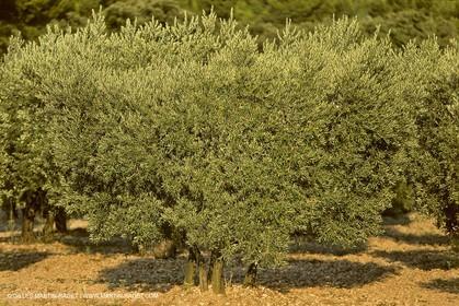 France, Provence, Oliviers, oliveraies, olive trees