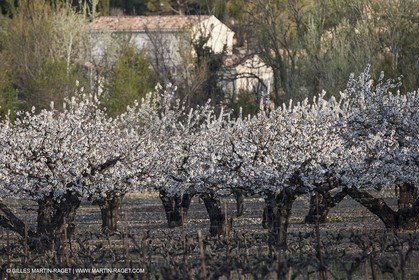 March 30th 2012 - Saint Saturnin les Apt (FRA, 84) - blooming cherry trees