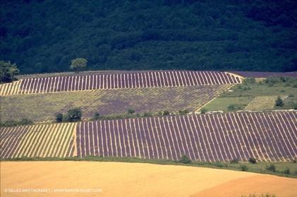 Lavander fields