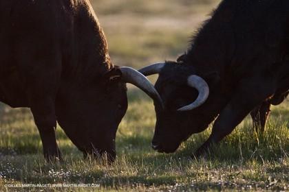 09 04 2011 - Arles (FRA,13) - Bulls fighting in Camargue