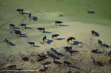 Bouches du Rhône, Camargue (FRA 13) - Camargue bulls
