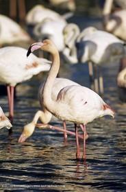 Camargue (FRA,13) - Flamingos in the Camargue